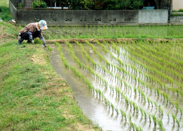 japon culture du riz