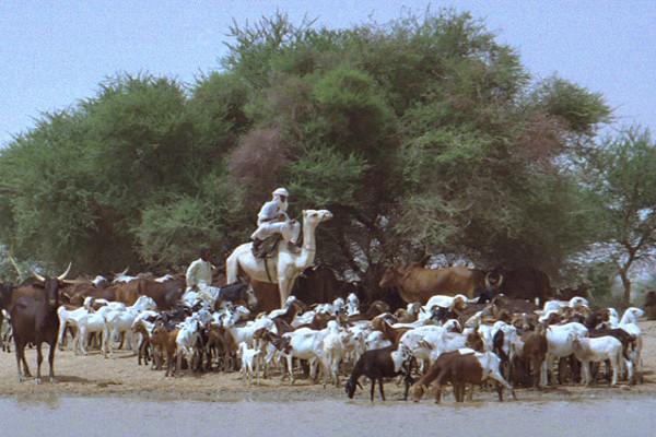 Touaregs Niger Troupeau